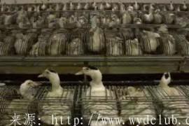 高档食材的迷思:60秒看完鹅肝的真相