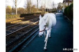 德国一匹白马独自在市区散步14年,当地居民早已习惯